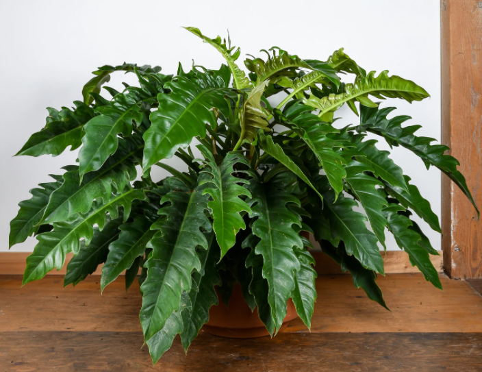 """Philodendron """"Jungle Boogie"""" Best Indoor Plants for Apartments"""